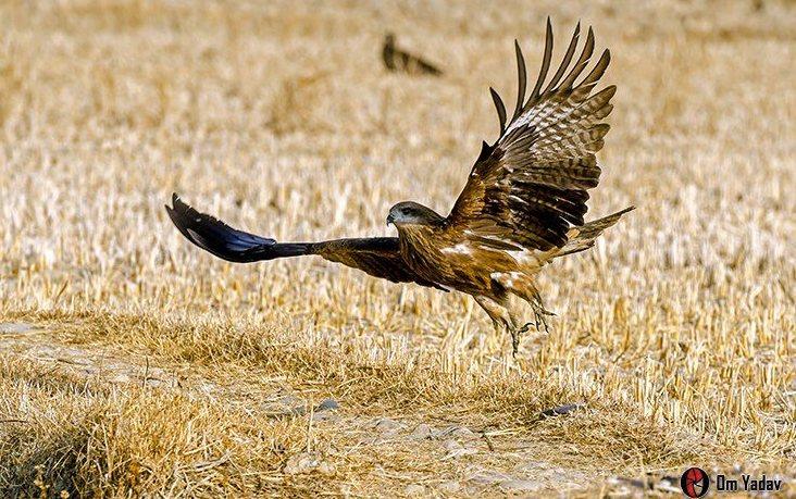 Aigle en vol Khokana Nepal