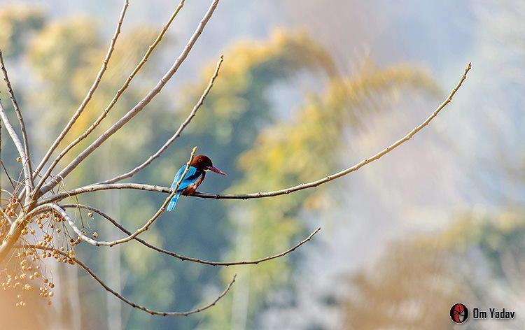Oiseau Khokana Nepal