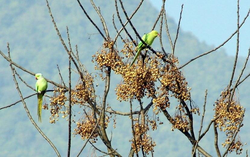 Perruches Khokana Nepal