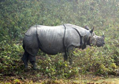 Rhinocéros à une corne Chitwan Népal