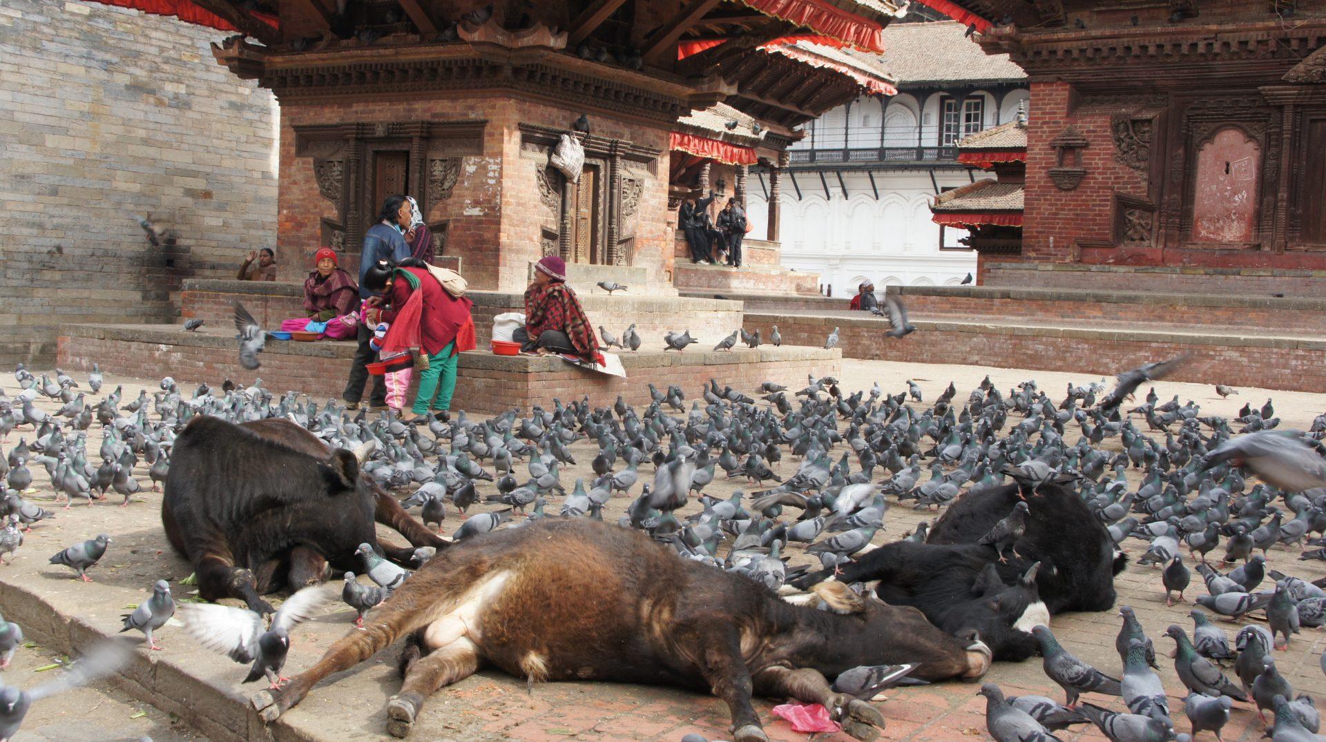 Vaches au repos Kathmandou Népal