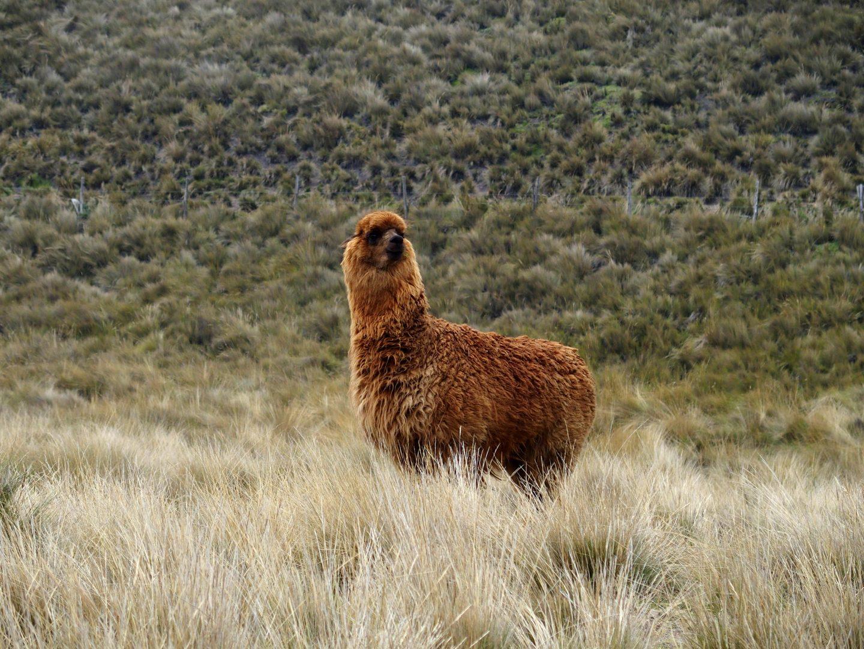 Alpaga brun dans campagne Equateur