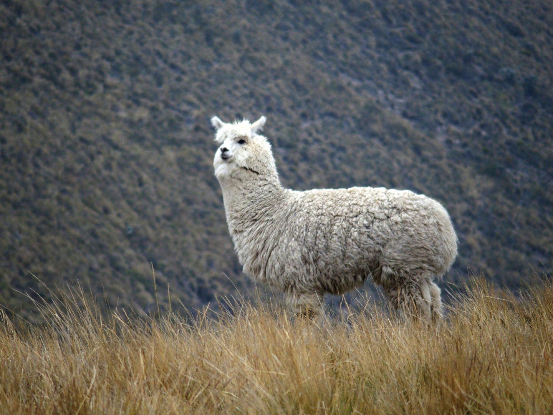 Alpaga cousin du lama Equateur