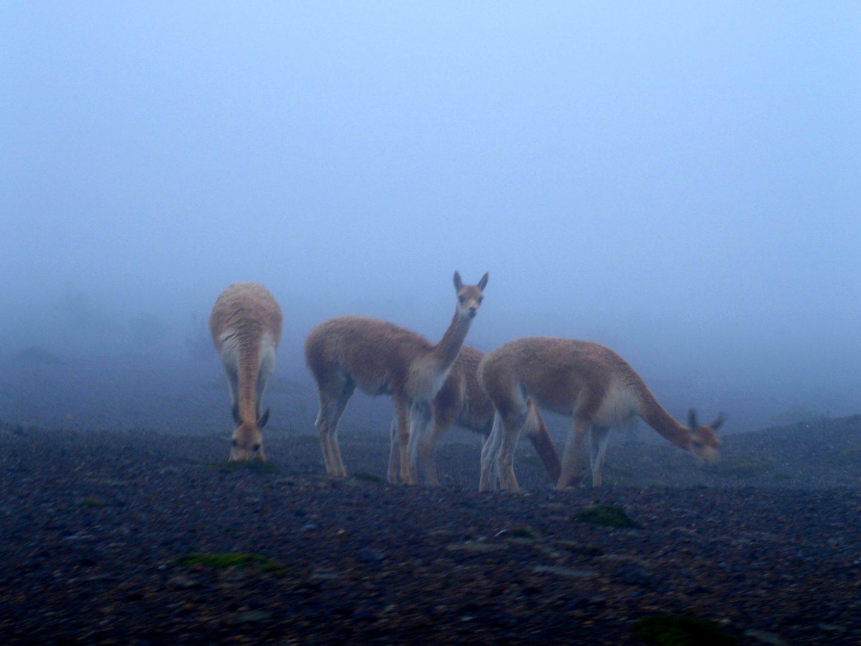 Belles vigognes dans le brouillard Equateur