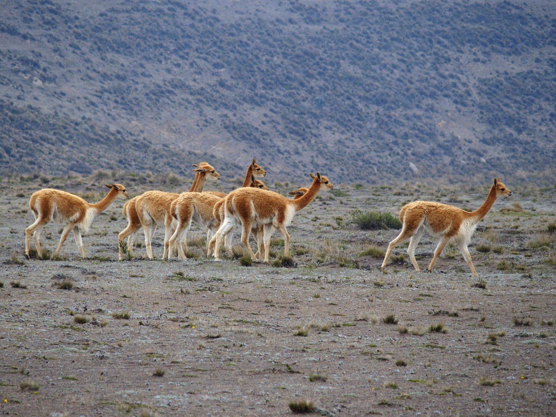 Groupe de vigognes Equateur