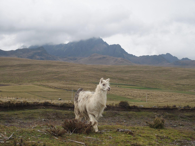 Jeune lama solitaire volcan Cotopaxi Equateur