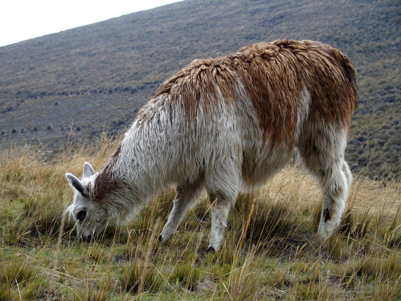 Lama blanc et roux sur le Cotopaxi Equateur