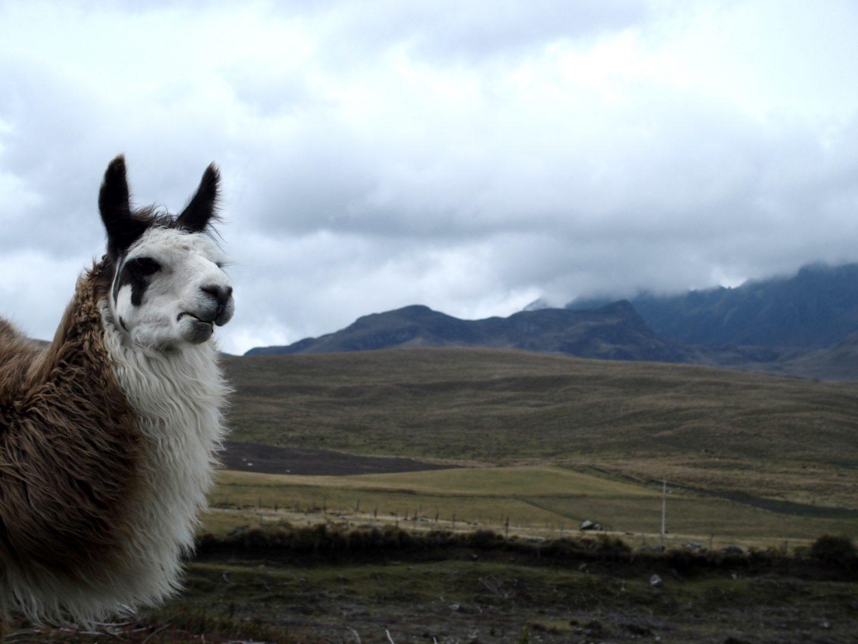 Lama dans la campagne de Cotopaxi Equateur