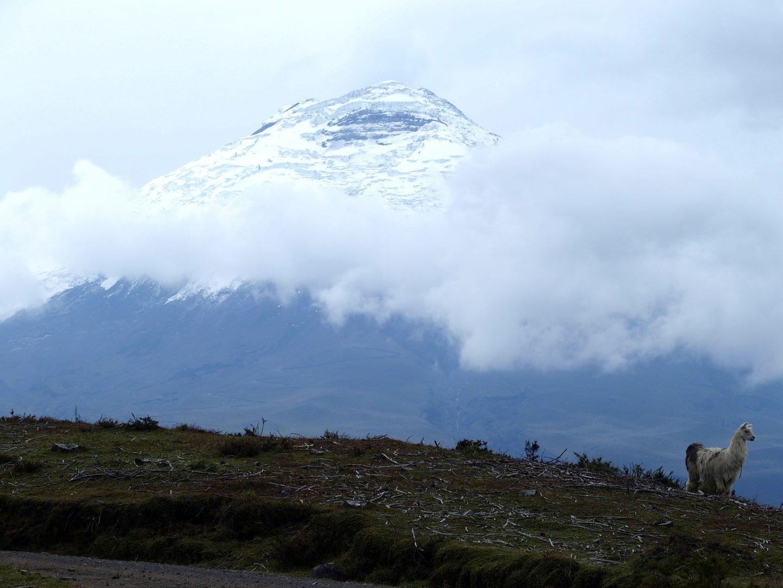 Lama devant le Cotopaxi Equateur