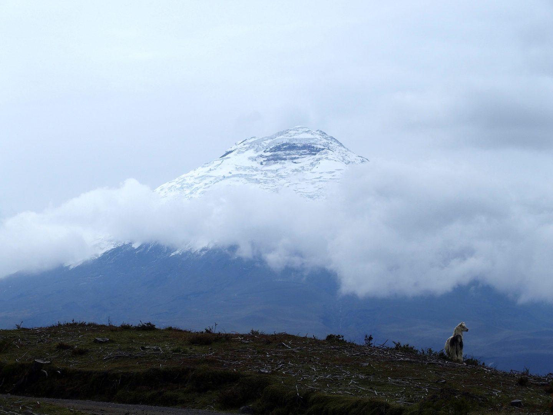 Lama devant le volcan Cotopaxi Equateur