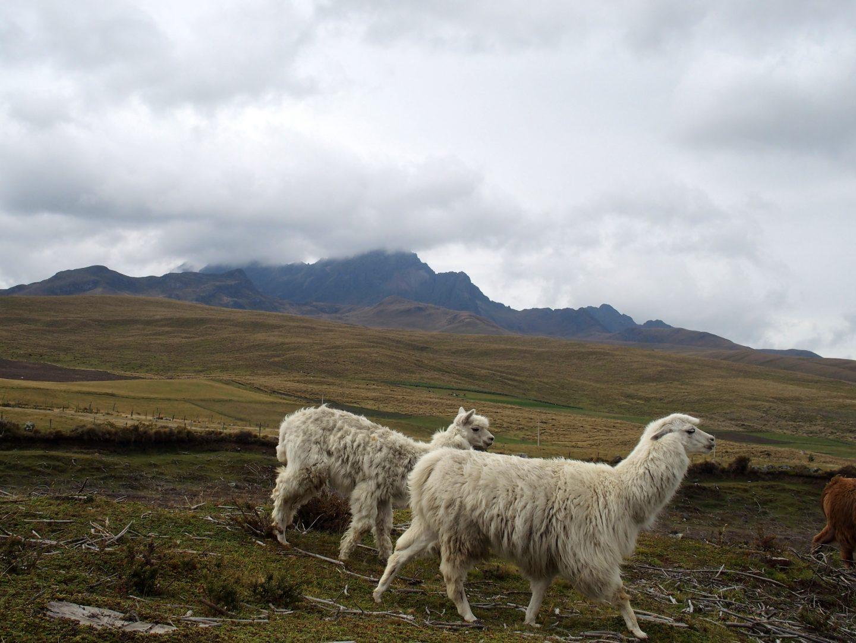 Lamas blancs au Cotopaxi Equateur