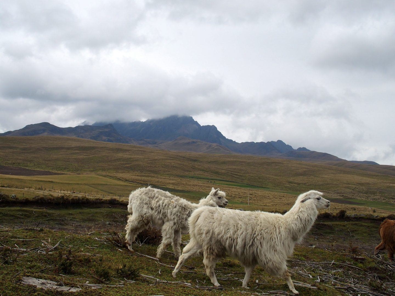Lamas blancs au volcan Cotopaxi Equateur