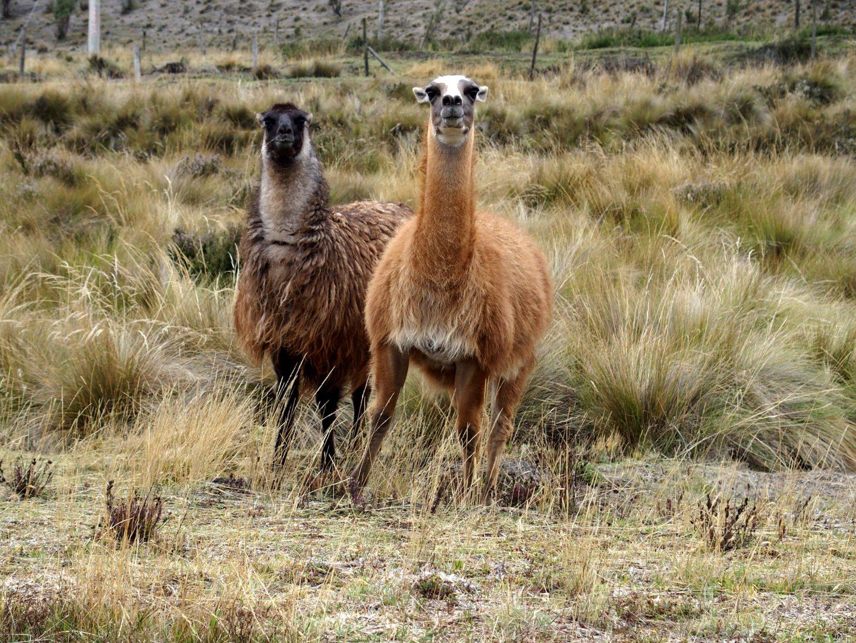 Lamas pas très contents dans la pampa Equateur
