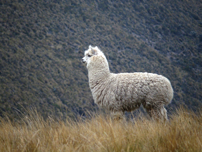 Petit alpaga blanc Equateur
