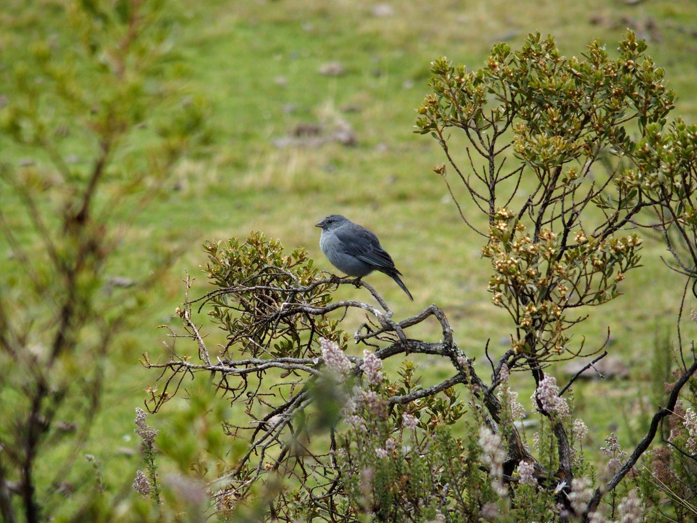 Petit oiseau lagune de Limpiopungo au pied volcan Cotopaxi Equateur