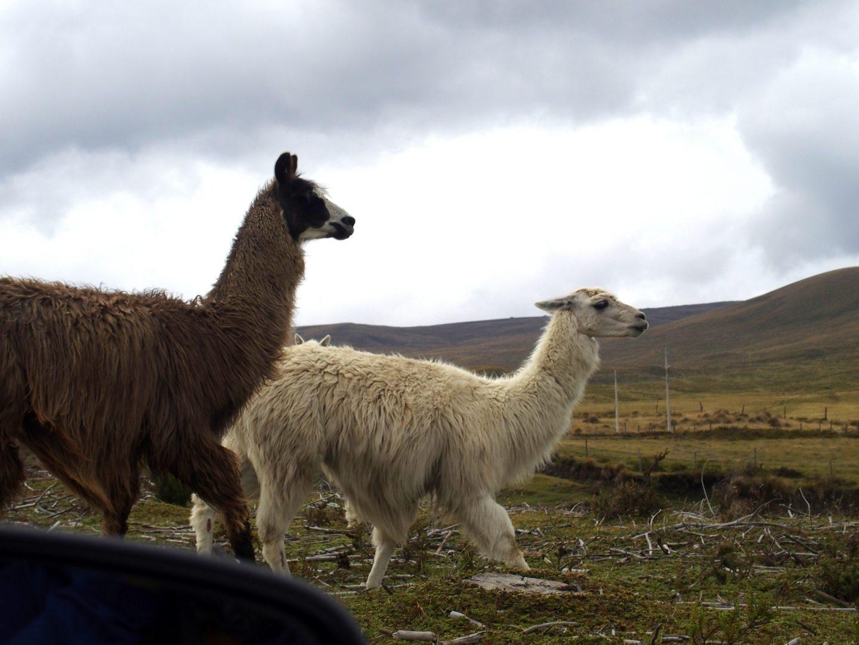 Rencontre avec premiers lamas sur volcan Cotopaxi Equateur