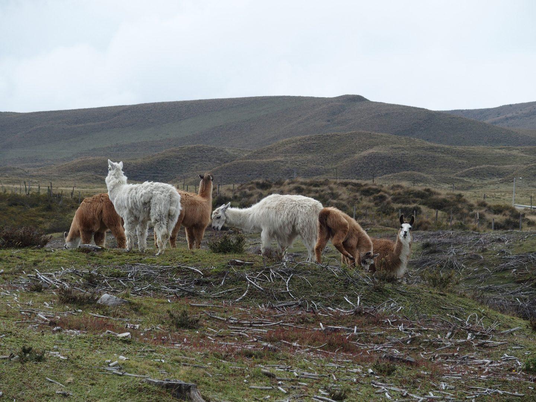 Troupeau de lamas en Equateur