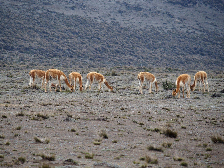 Troupeau de vigognes Cotopaxi Equateur