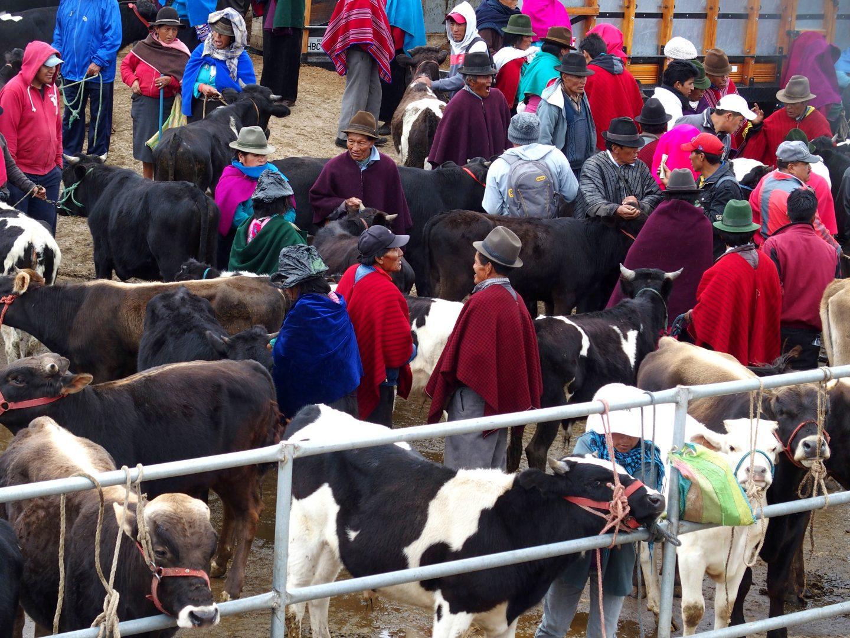 Vente de vaches au marché de Guatope Equateur