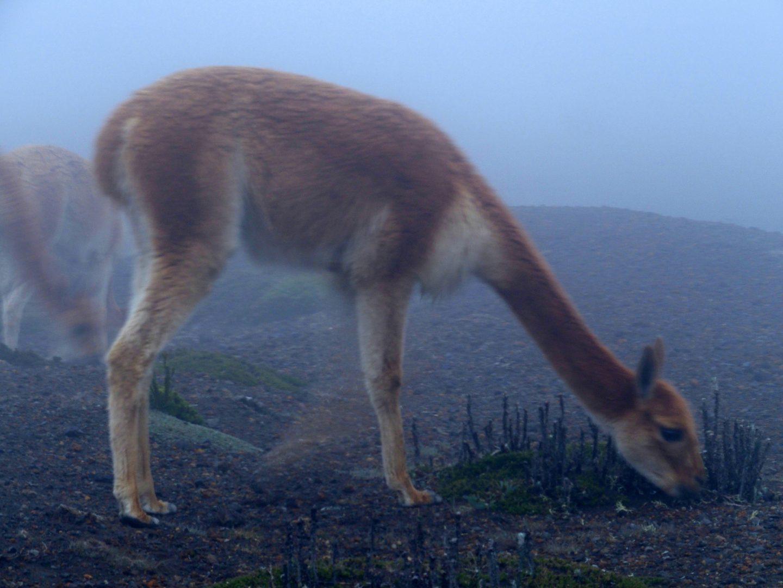 Vigogne dans brouillard à Cotopaxi Equateur