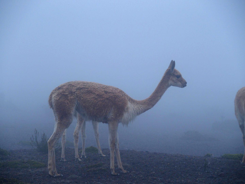 Vigogne dans le brouillard volcan Chimborazo Equateur