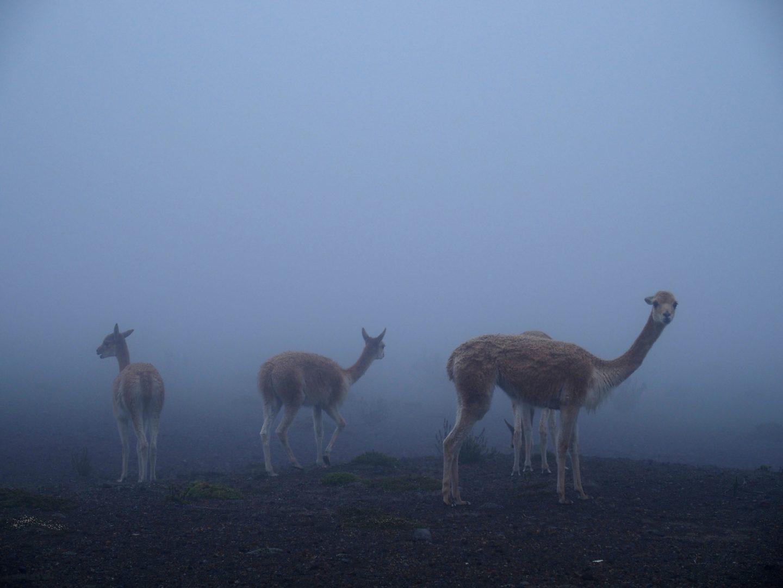 Vigognes, cousins des lamas Equateur