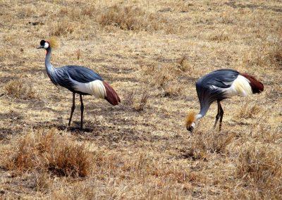 Grues couronnées Tanzanie