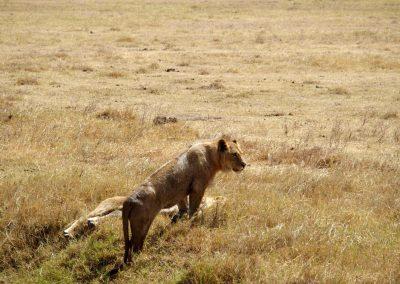 Jeune lionne Tanzanie