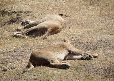 Lions au repos Tanzanie