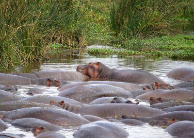 Mare d'hippopotames Tanzanie