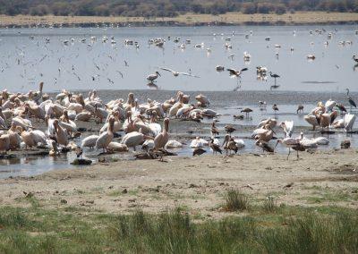 Oiseaux lac de Manyara Tanzanie