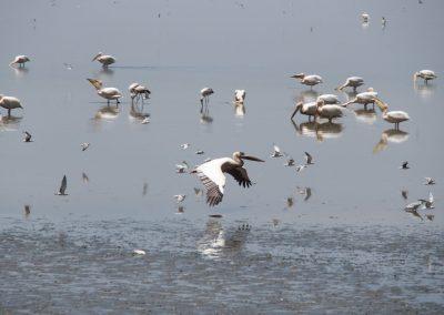 Pélicans lac de Manyara Tanzanie