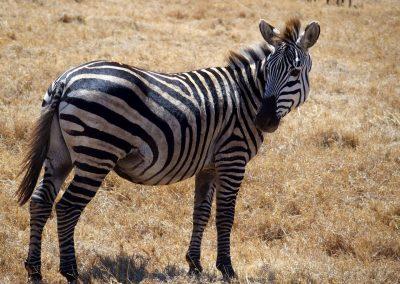 Regard de zèbre Tanzanie