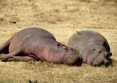 Repos des hippopotames Tanzanie