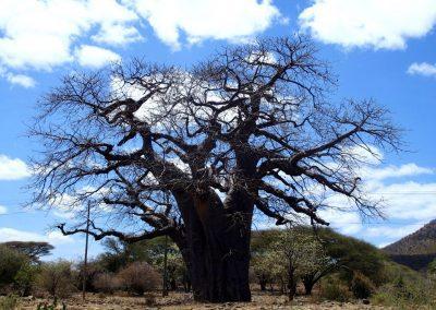 Superbe baobab Tanzanie