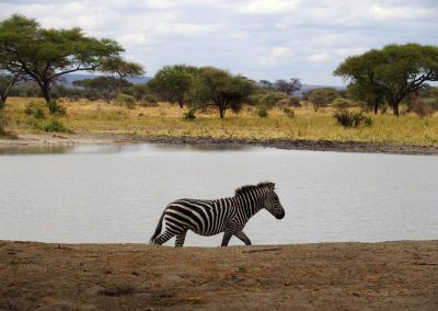Zèbre de Tanzanie