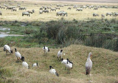 Zèbres et cigognes Tanzanie