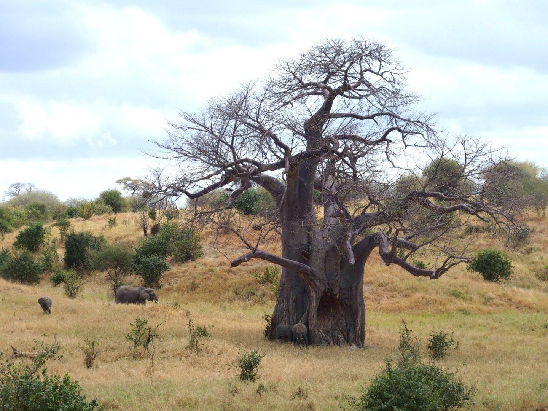 Baobab centenaire parc Tarangire Tanzanie