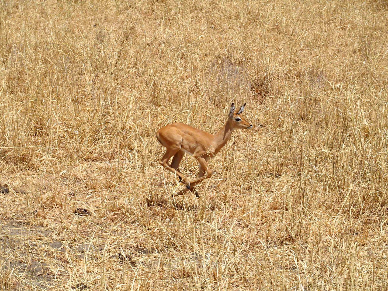Course d'un jeune impala parc Terangire Tanzanie