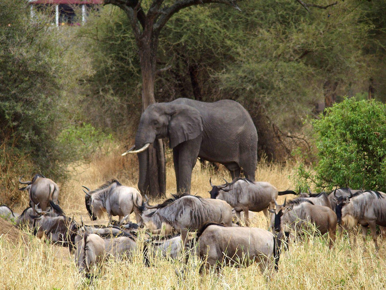 Elephant au milieu de gnous parc Terangire Tanzanie