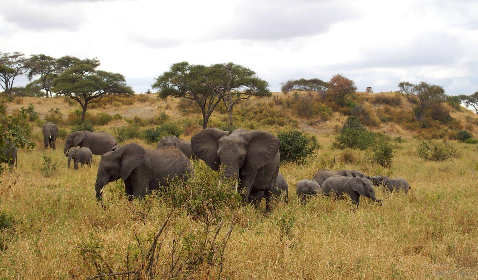Elephants dans parc Tarangire Tanzanie