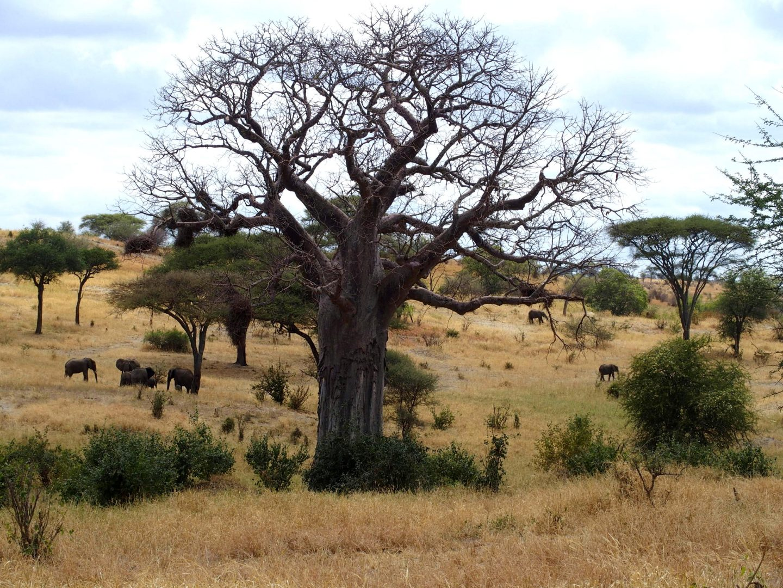 Elephants et baobab Parc de Tarangire Tanzanie