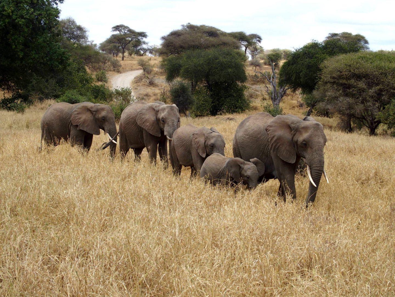 Famille d'éléphants parc Tarangire Tanzanie