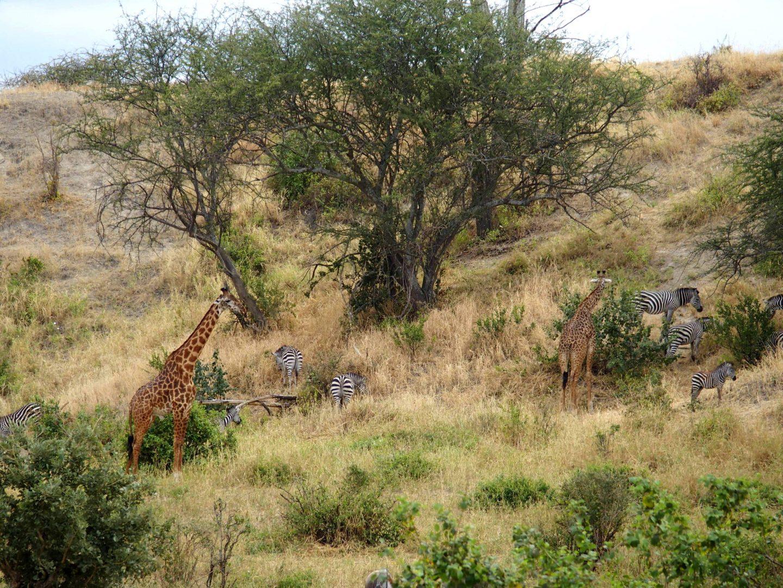Girafes et zèbres parc Terangire Tanzanie
