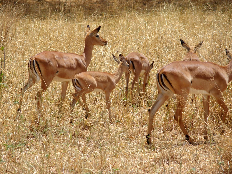 Groupe impalas parc Terangire Tanzanie