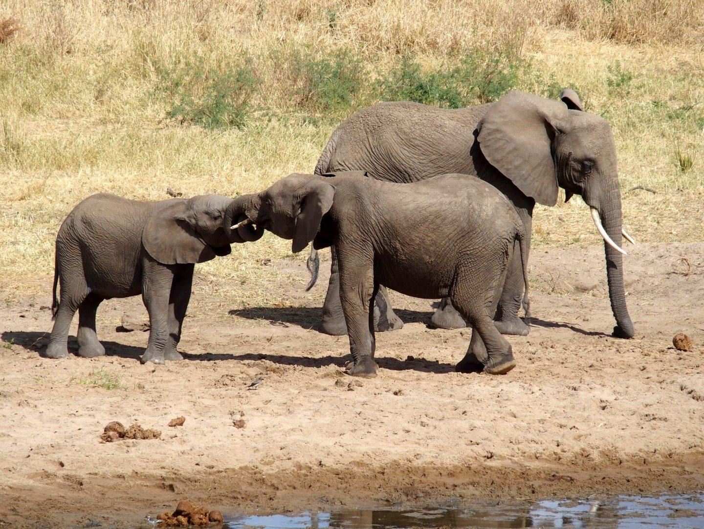 Jeux d'éléphanteaux parc Tarangire Tanzanie
