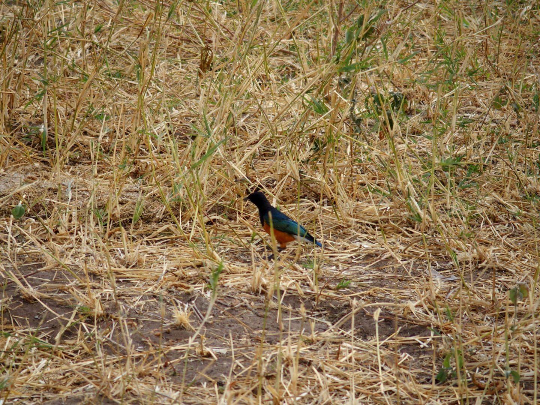 Joli petit oiseau parc Tarengire Tanzanie