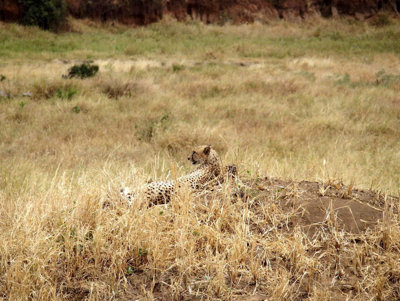 Léopard parc Tarangire Tanzanie