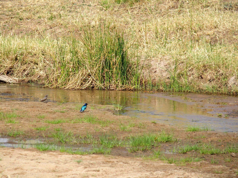 Petit oiseau bleu fluo parc Tarangire Tanzanie