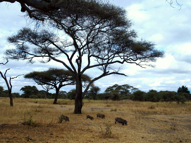 Phacochères dans la savane parc Terangire Tanzanie